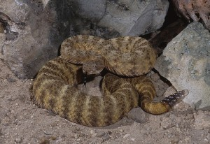 Tiger Rattlesnake (Crotalus Tigris). Endemic only to the Sonoran Desert. This snakes venom is the most toxic of all of the North American pit vipers.