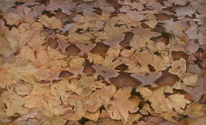 Look Close! Copperhead camouflaged in dead leaves
