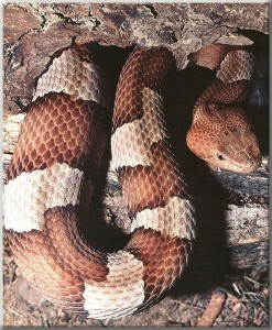 Eastern Copperhead Snake